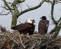 The eagles return to Llano County each winter.
